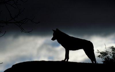 IBERIAN WOLF TOUR